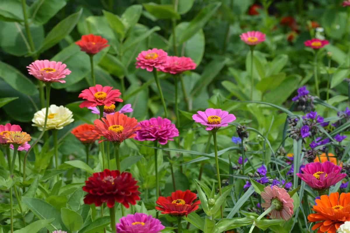 Zinnias are annuals with brightly-colored flowers.