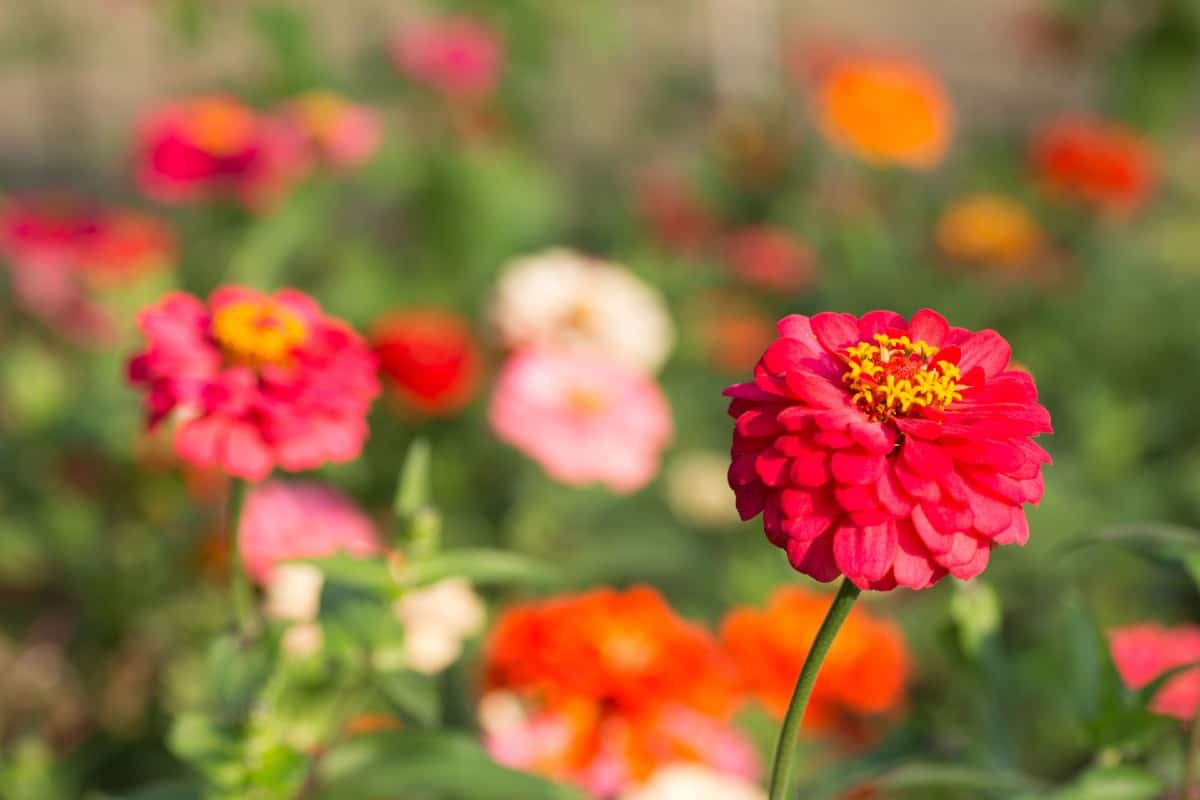 Zinnias are easiest to grow from seeds rather than transplanting.