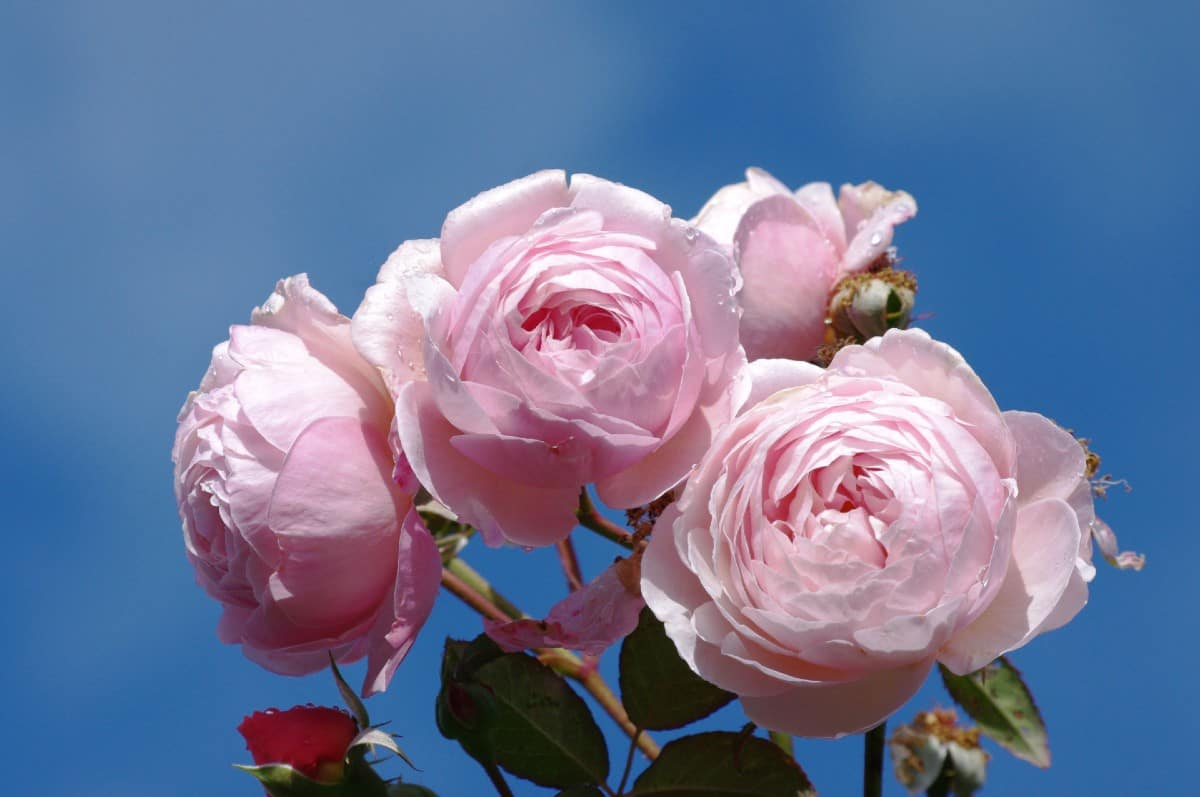 For a climbing tea rose with almost no thorns, plant A Shropshire Lad.