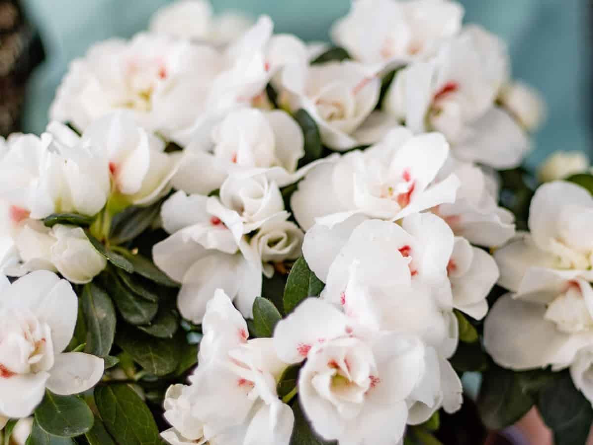 Alabama azaleas are evergreens that smell like lemons.