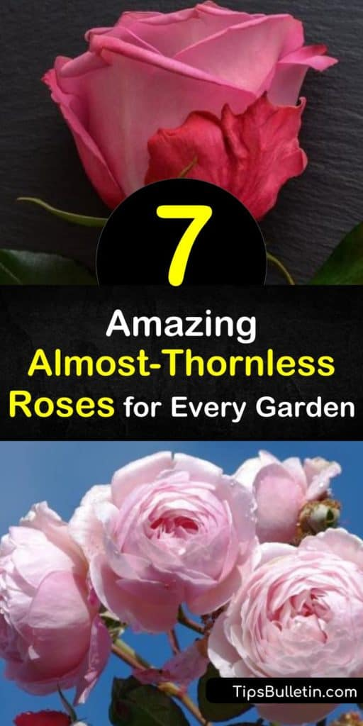 Discover the disease resistant and almost thornless roses for your garden, from David Austin and floribunda hybrids. Our list includes both climbing rose or shrub rose options like Paul Neyron, Reine des Violettes, and Lady Banks. #thornlessroses #thornless #rose