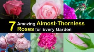 Almost Thornless Roses titleimg1