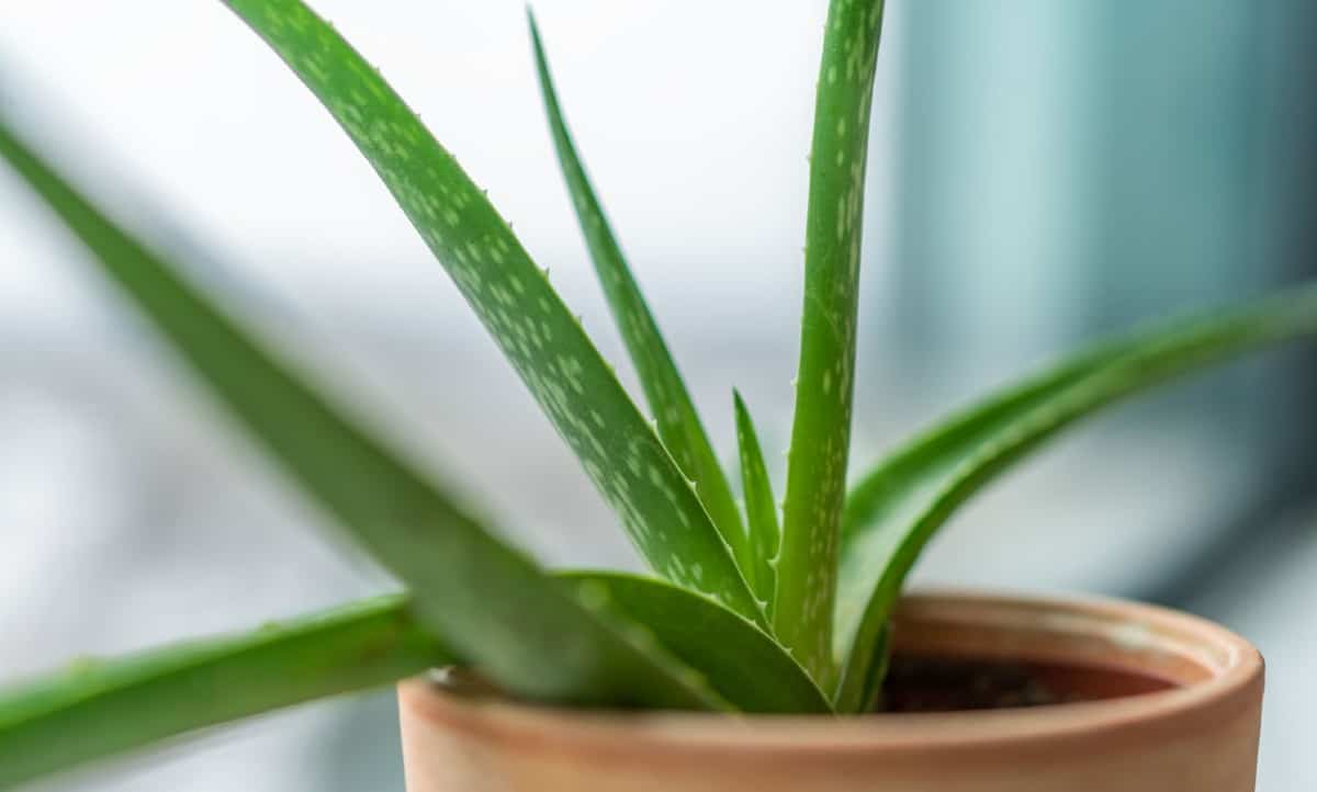 Aloe vera is a succulent that is easy to grow.