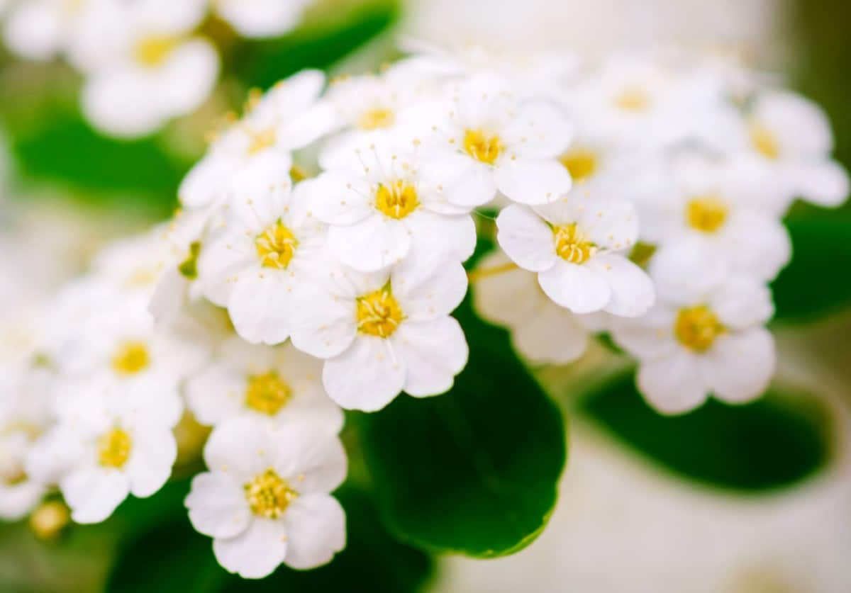 Alyssum is a pretty, low-growing annual.