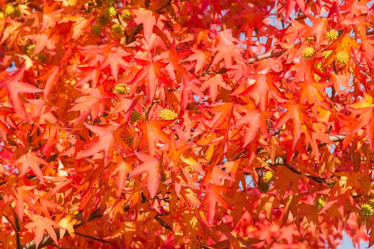 The American sweet gum is both a tall and wide tree.