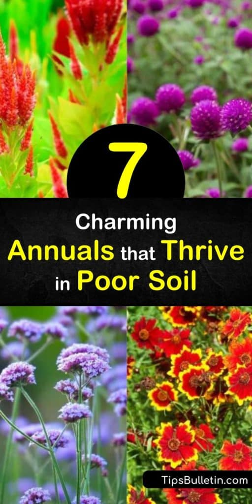 Discover the best annuals for poor soil conditions, from the spider flower (Cleome spinosa) to blanket flowers (Gaillardia lorenziana). The drought tolerant plants on this list even include verbena, nasturtium, petunia, salvia, and impatiens. #poorsoil #annuals #plants #soil