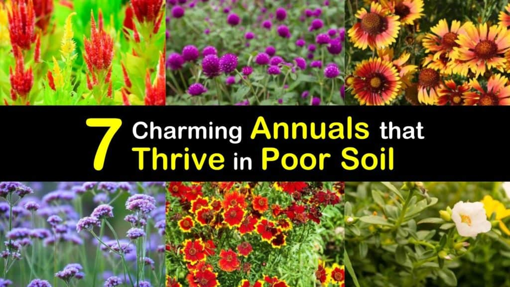 Annuals for Poor Soil titleimg1