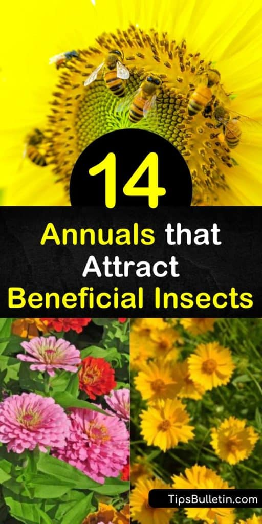 Learn how to protect your garden from destructive insects by drawing in good bugs with fennel, marigold, and yarrow plants. Control aphids in your yard by attracting ladybugs, parasitic wasps, and hoverflies. #annuals #plants #beneficialinsects