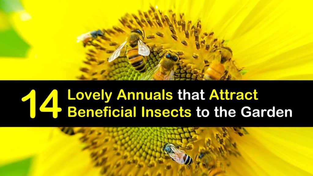 Annuals that Attract Beneficial Insects titleimg1
