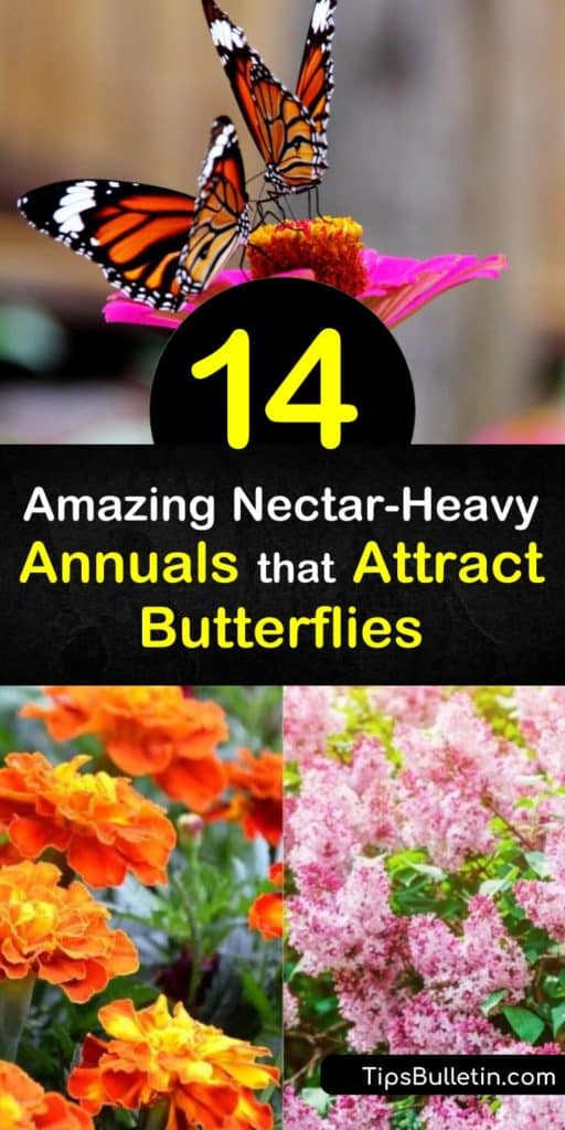 Discover gorgeous annuals that attract hummingbirds with sweet honey-scented flowers. Plant heliotrope and salvia to draw in butterflies with bright hues. Learn how to grow plants like phlox and verbena to appeal to pollinators. #annuals #attract #butterflies