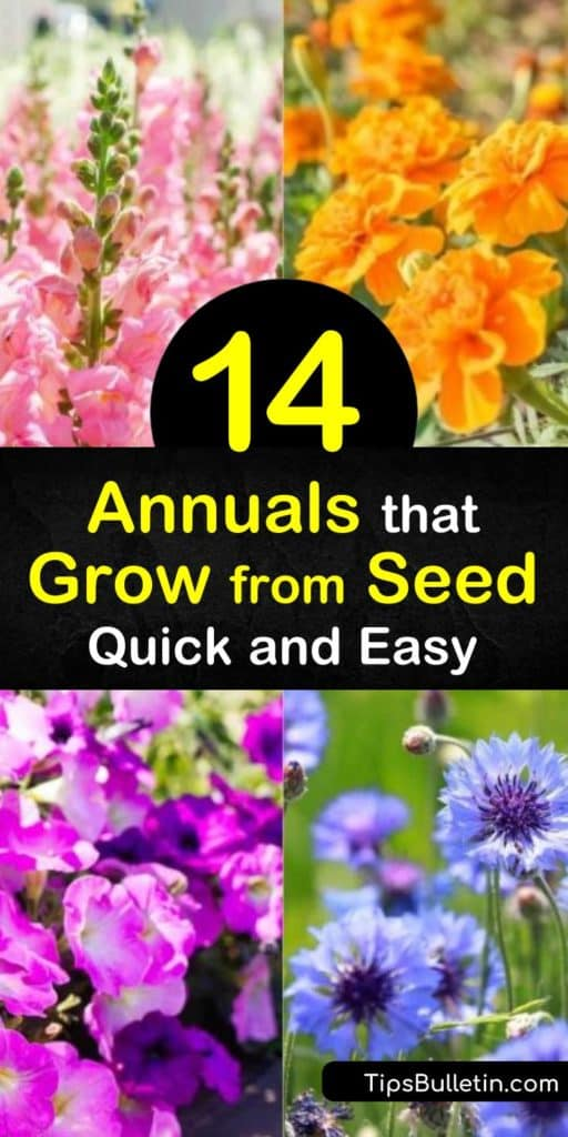 Enjoy planting annuals that grow from seed and watching them blossom into stunning flowers. Plant fragrant annual flowers like sweet peas. Add winter hardy annuals like nasturtium after the last frost frost of spring for glorious, showy flowers. #annuals #grow #seeds