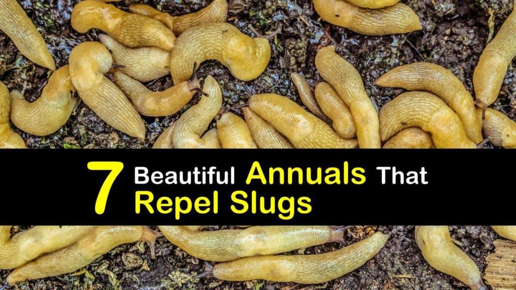 Annuals that Repel Slugs titleimg1