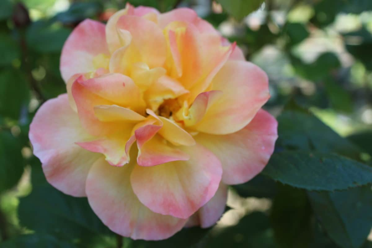 Apricot roses are known for their delicate peach color.