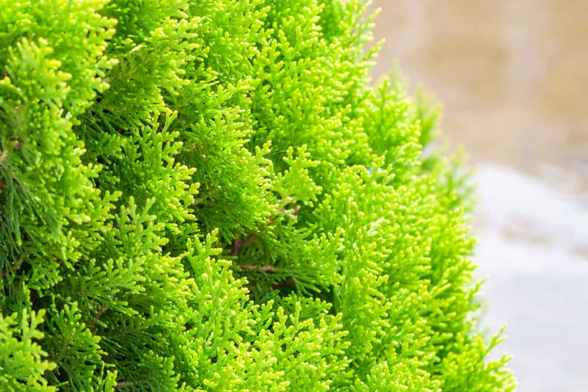 Arborvitae is commonly used as a privacy shrub.