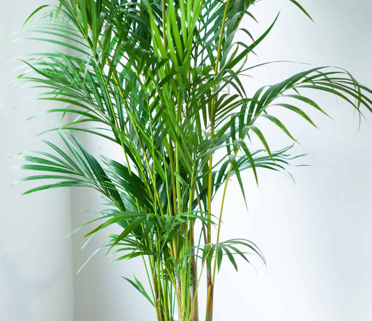 Areca palms have a bamboo-like structure.