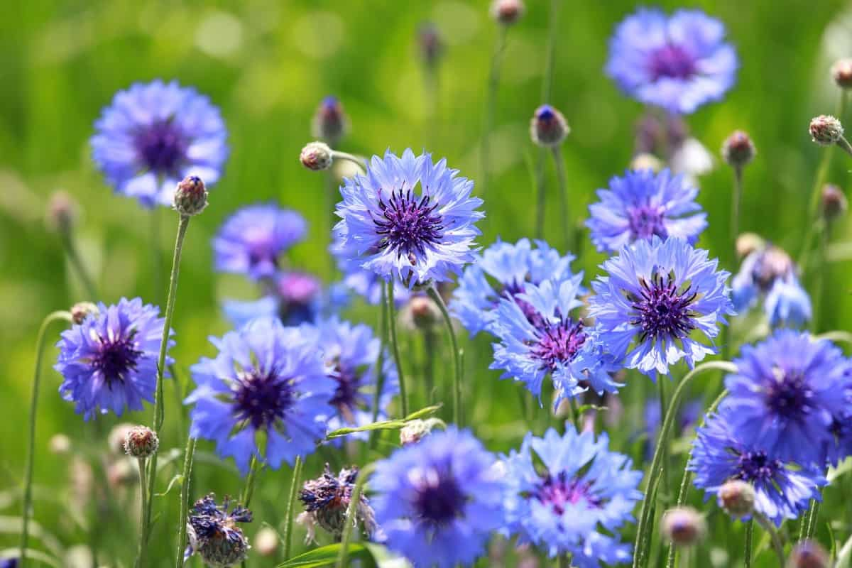 The bachelor's button or cornflower has a spicy scent.