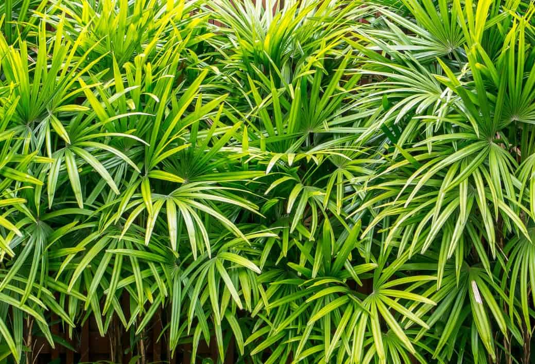 The bamboo palm is easy to grow.