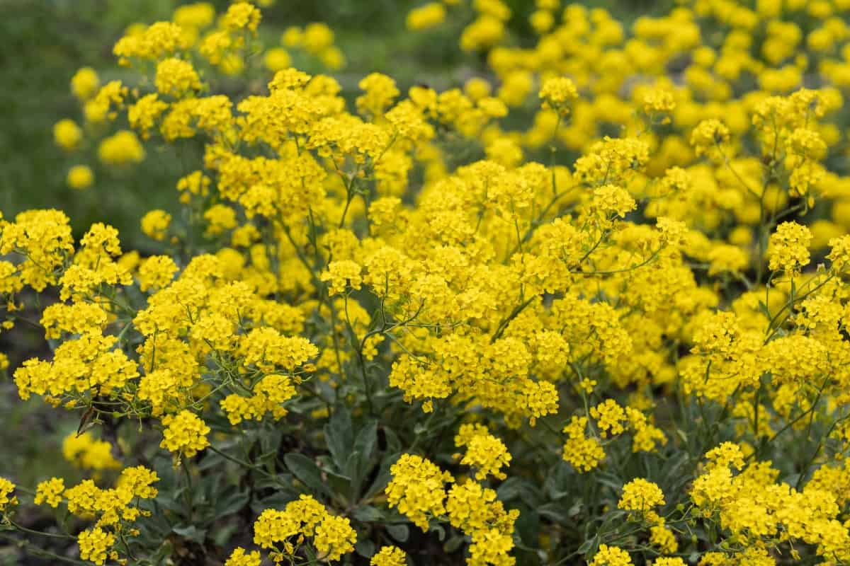 Basket of gold is an annual that grows almost anywhere.