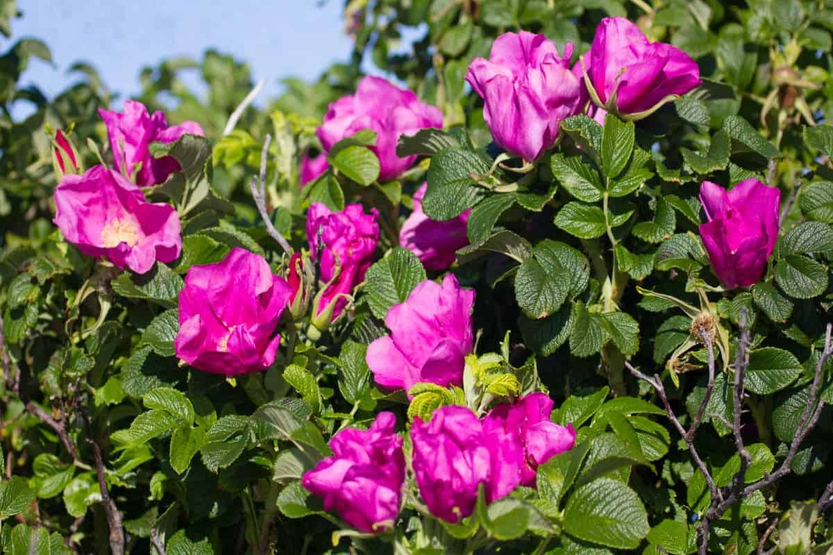 The beach rose is easy to grow and pest-resistant.