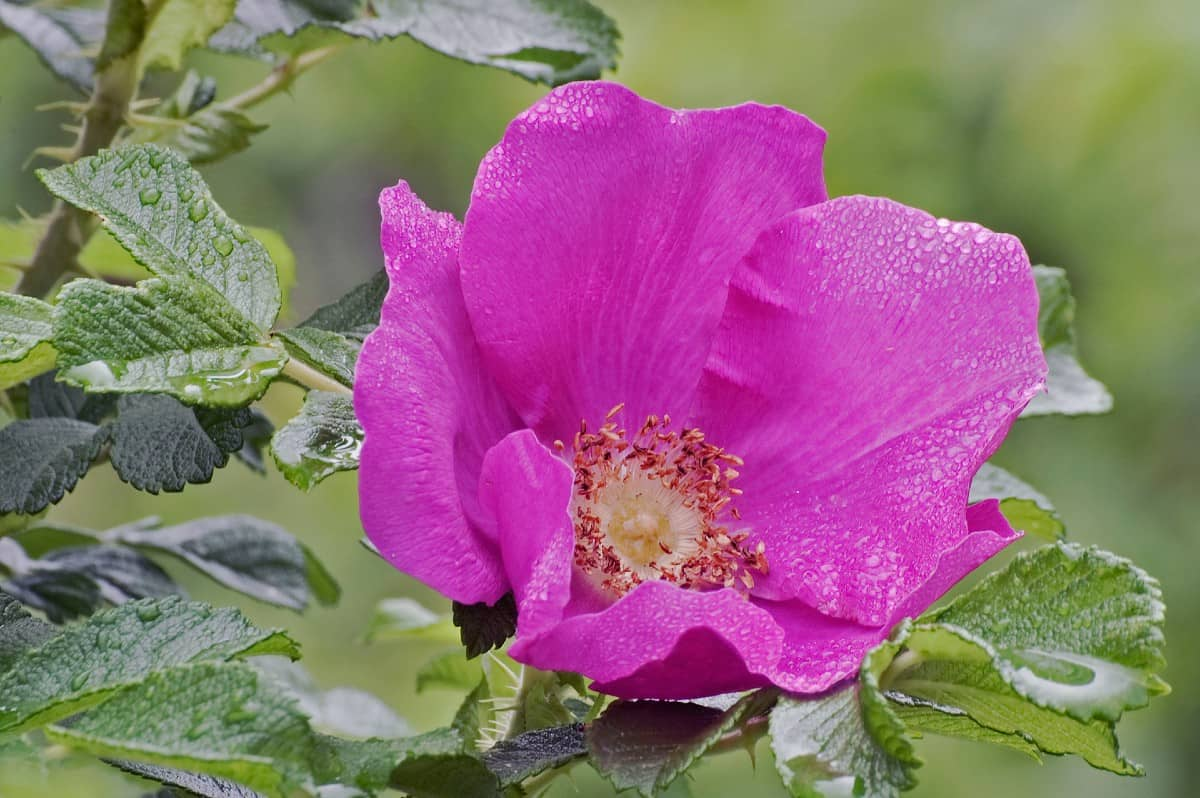 The beach rose can grow to six and a half feet tall.