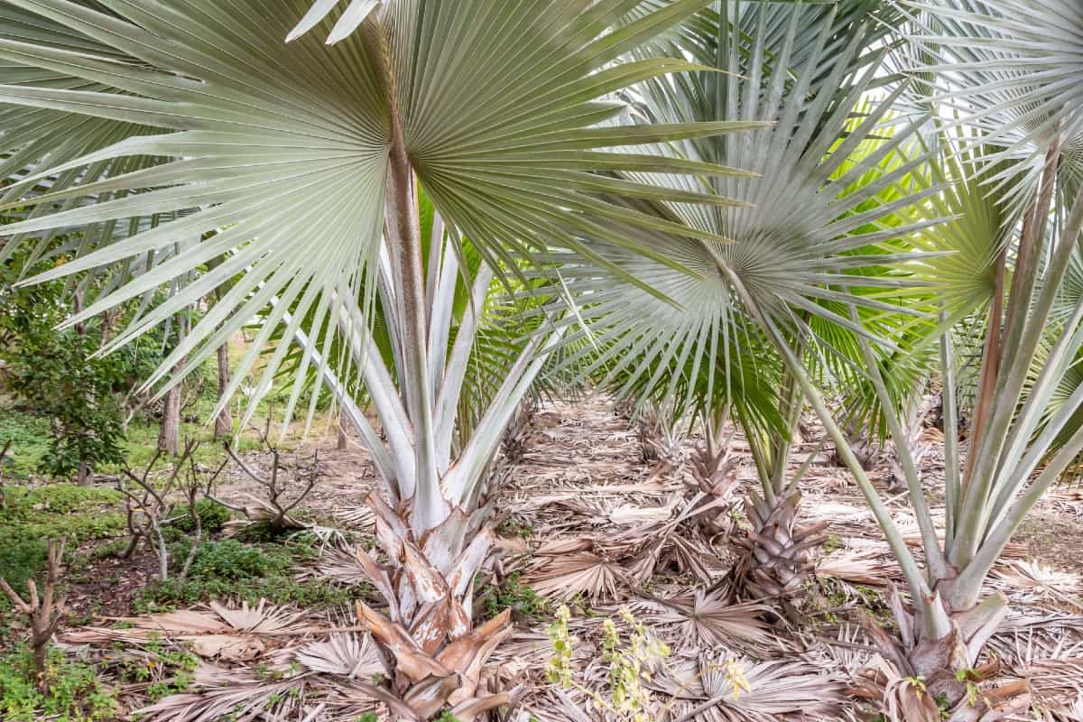 The bismarck palm prefers acidic soil that drains well.