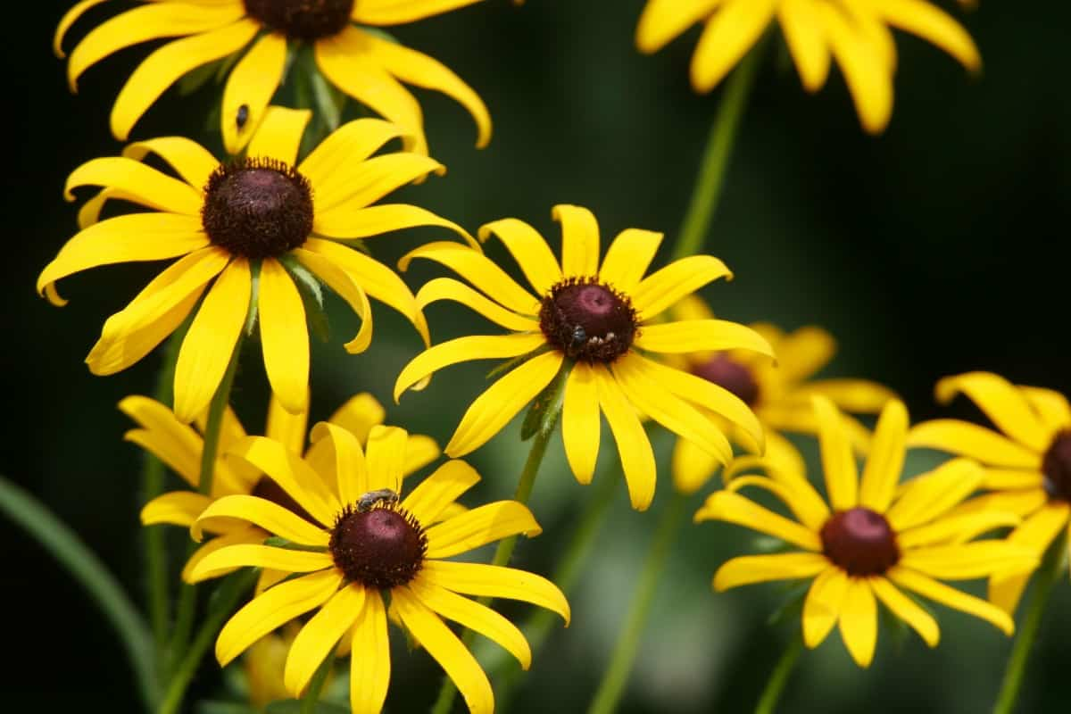 Black-eyed Susans are popular annuals.