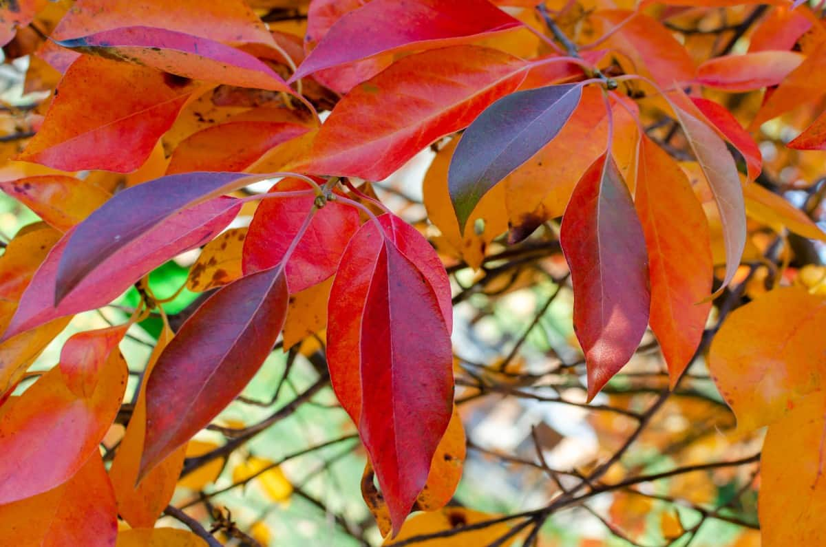 Black gum or tupelo trees are US natives.