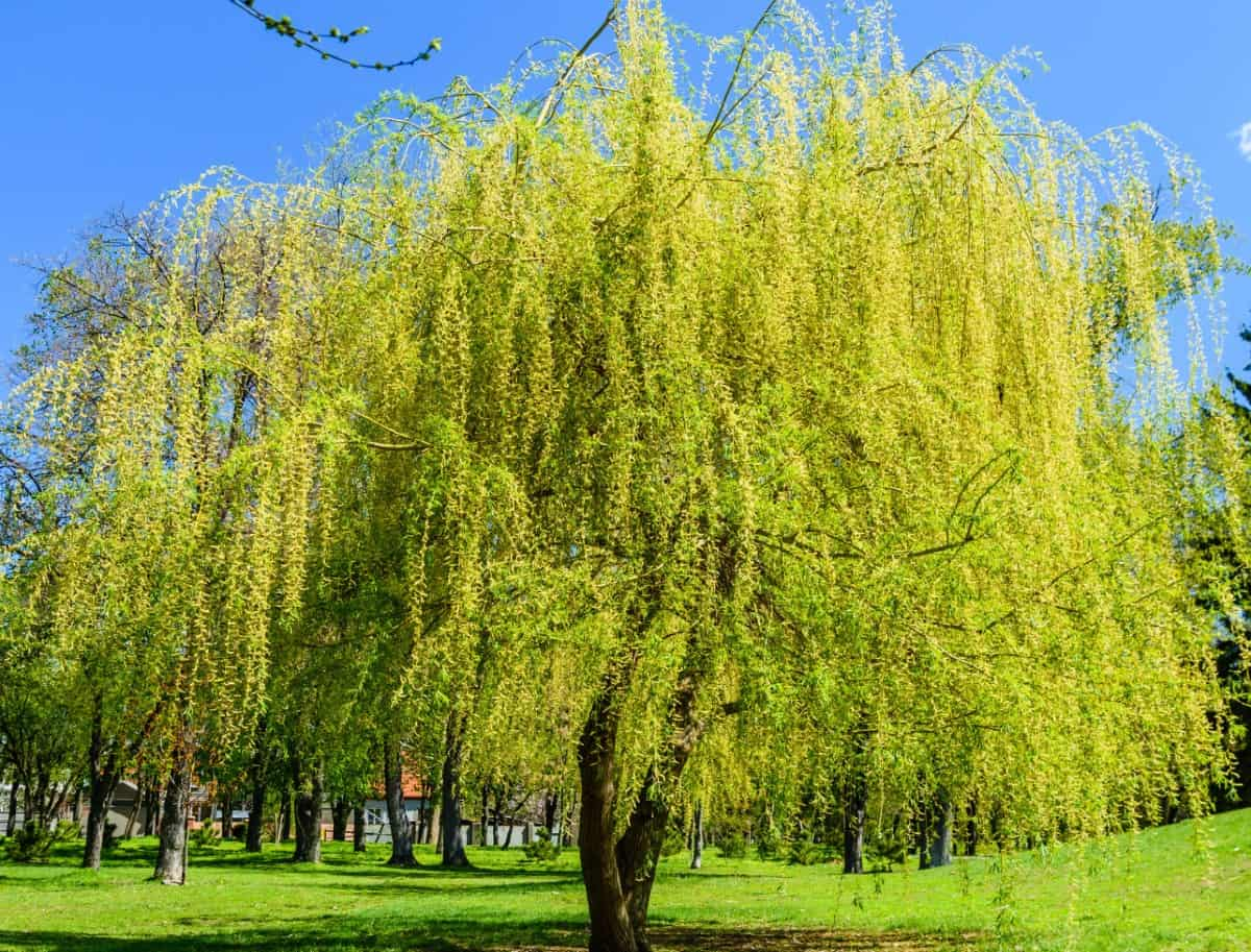 The black willow tree grows well in damp conditions.