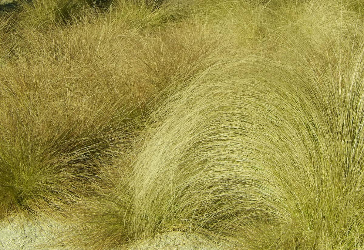 Blue oat grass is an ornamental with blue-green leaves.