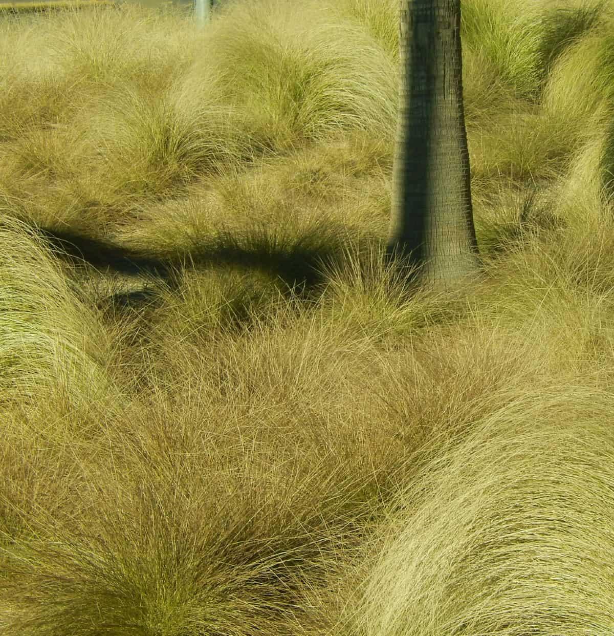 Blue oat grass grows in a fountain shape.