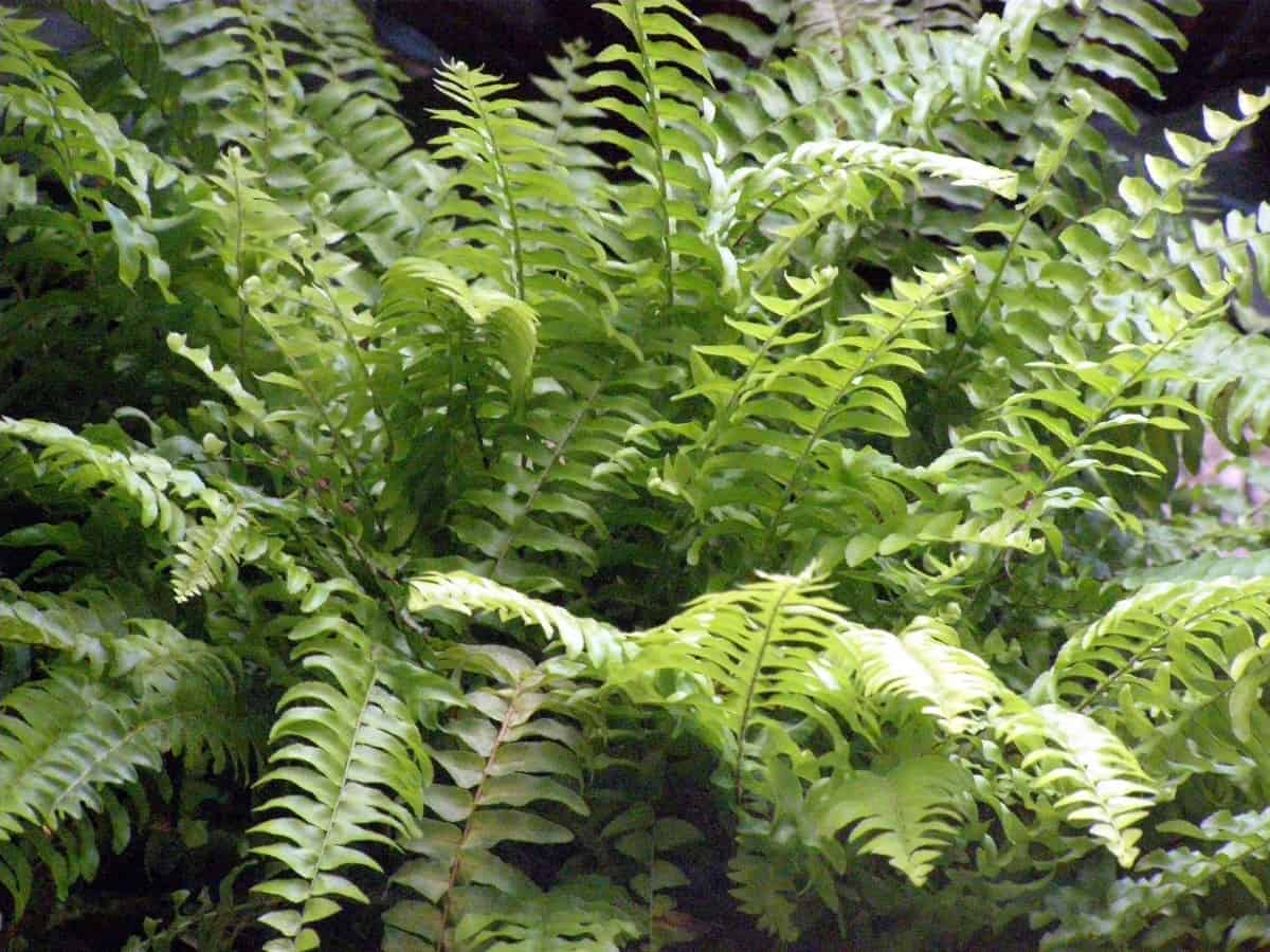 Boston ferns restore humidity to the air inside.