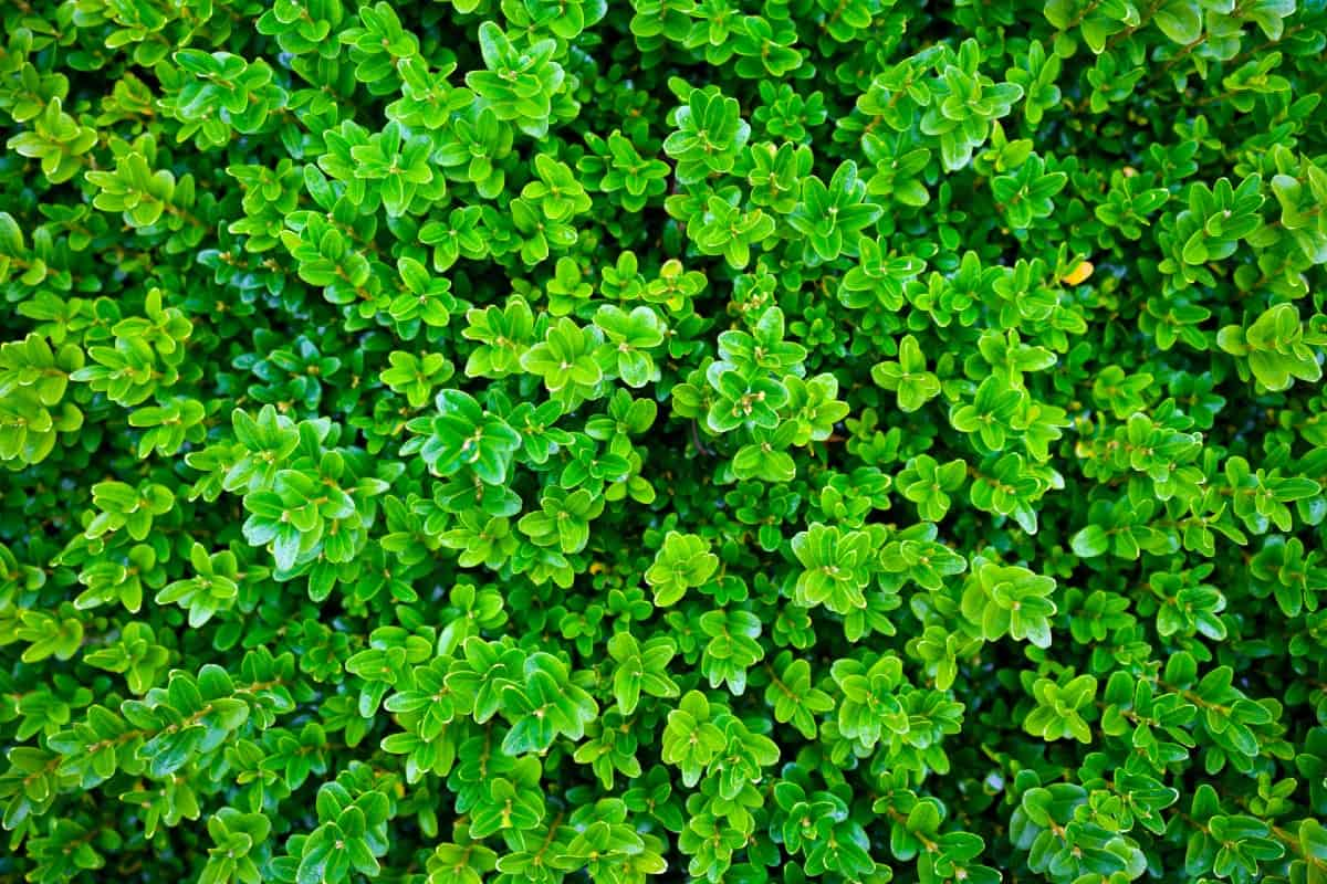 One advantage of growing boxwood is that it is deer-resistant.