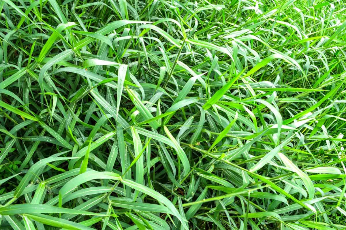 Buffalograss is a low-growing, drought-resistant grass.