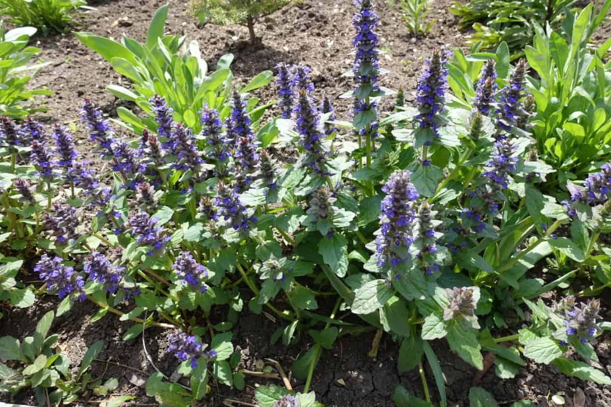 Bugleweed is a fast and vigorous grower.