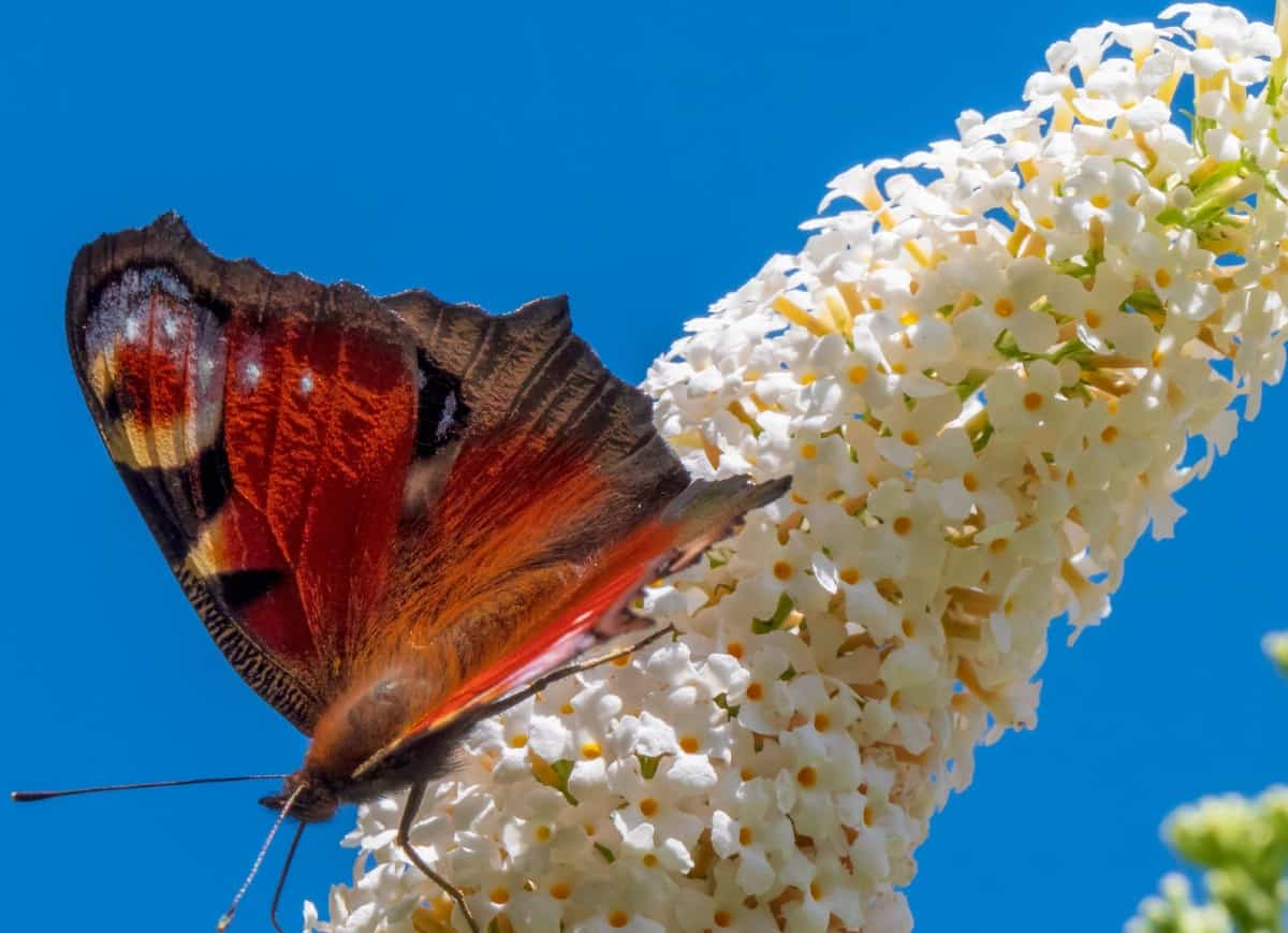 The butterfly bush attracts butterflies and hummingbirds, as well as bees.