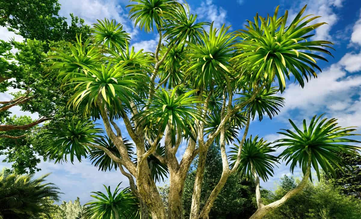 The cabbage or sabal palm can grow up to 80 feet tall.