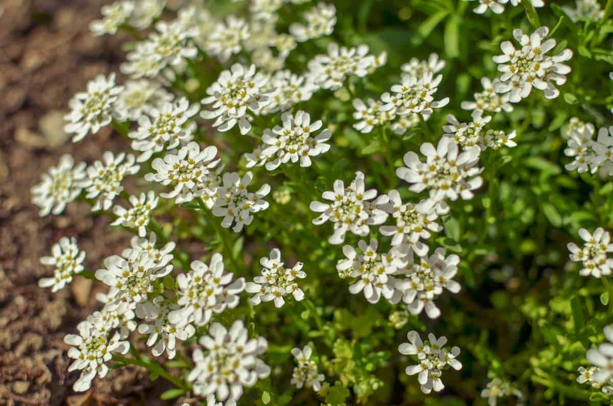 Candytuft is a pretty ground cover with white flowers.