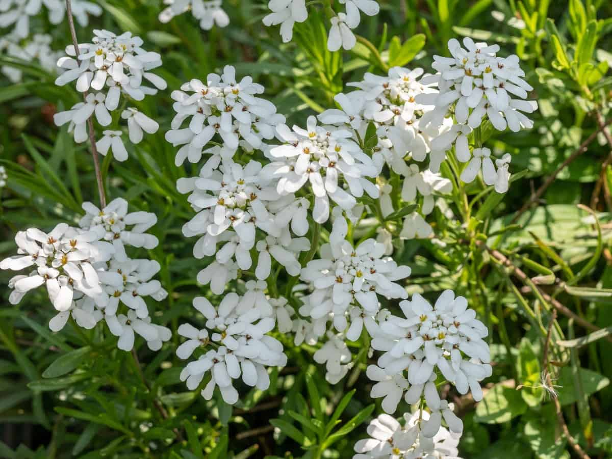 Although candytuft works well between pavers, it doesn't have a pleasant smell.