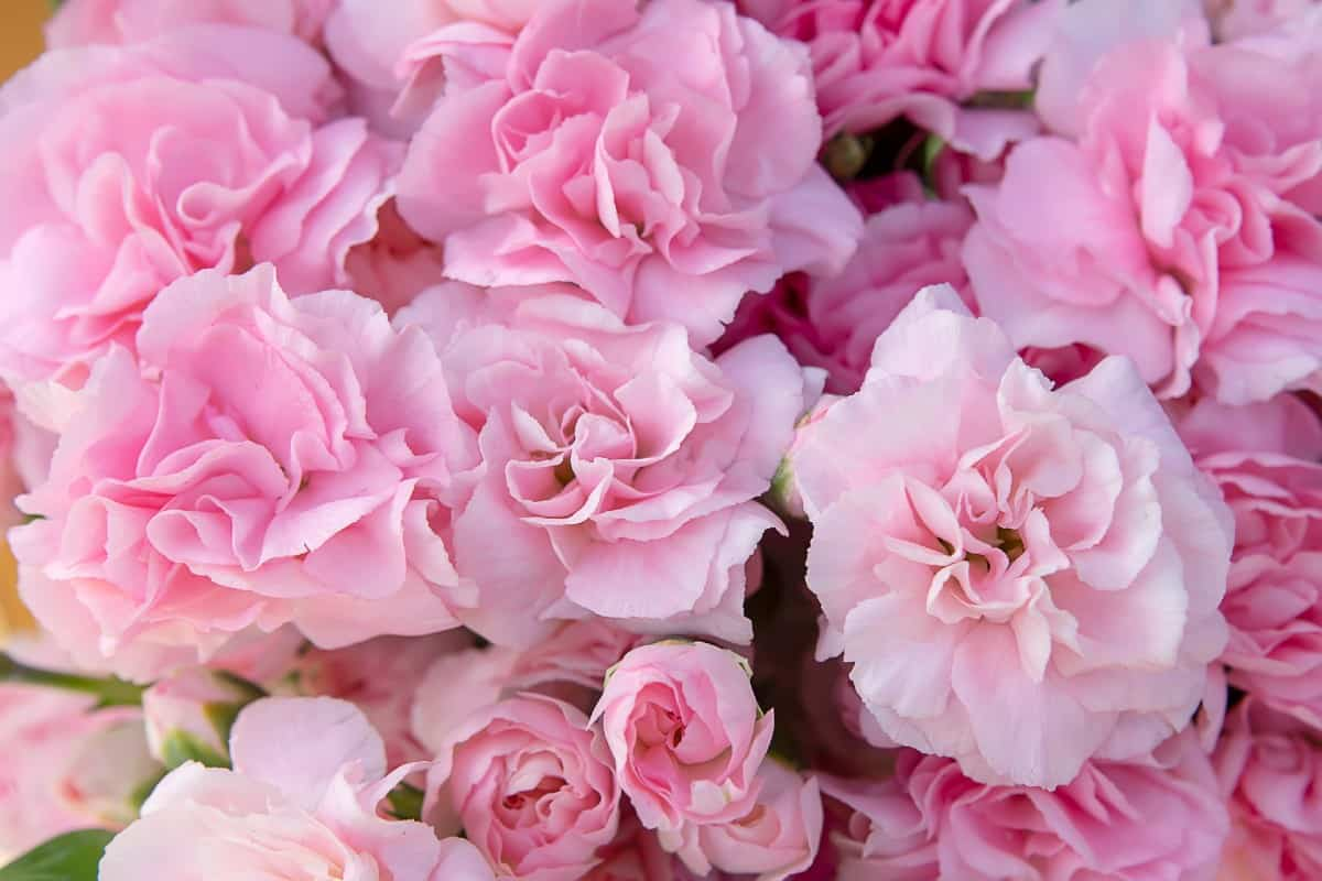 Carnation colors have different meanings.