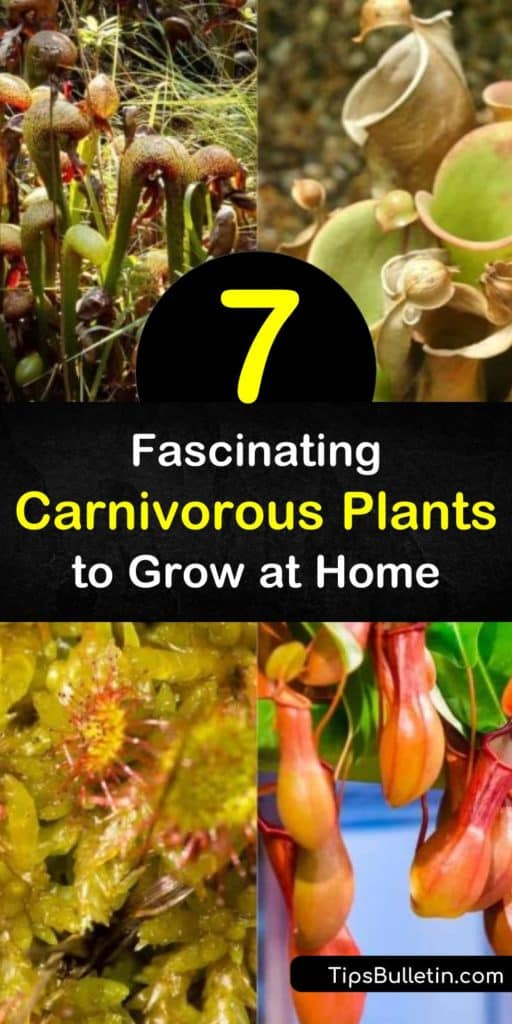 Create a flair of exotic appeal in and around your house with carnivorous plants. Grow butterworts, pitcher plants, bladderworts, dioneae, and drosera and enjoy their unique appearance while getting rid of flies and gnats in the home. #carnivorousplants #insecteatingplants #plants #eatinsects