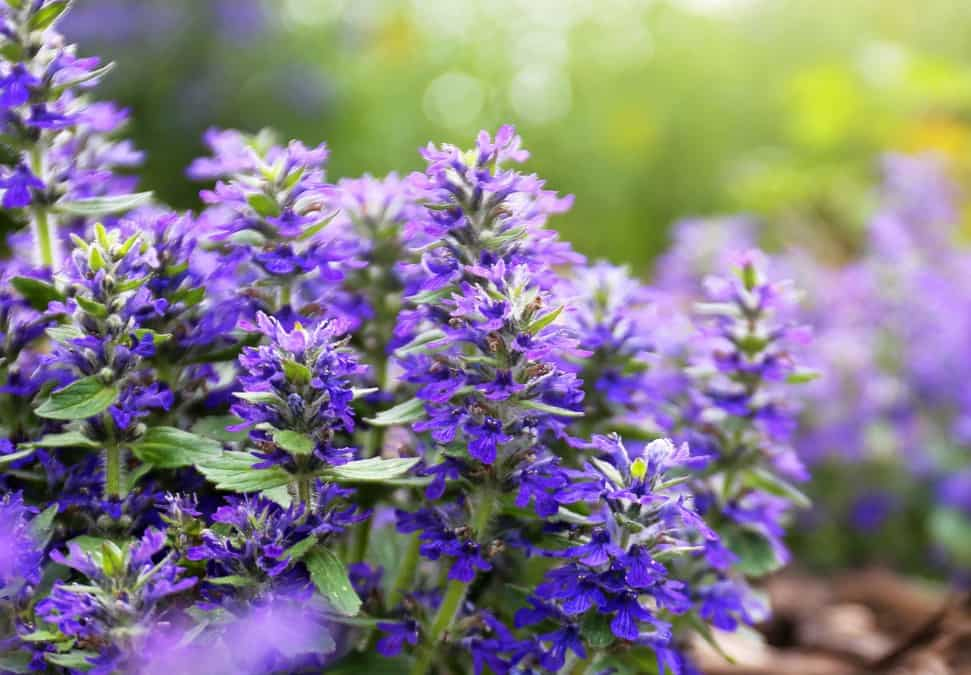 Carpet bugle is a perennial that prefers partial to full shade locations.