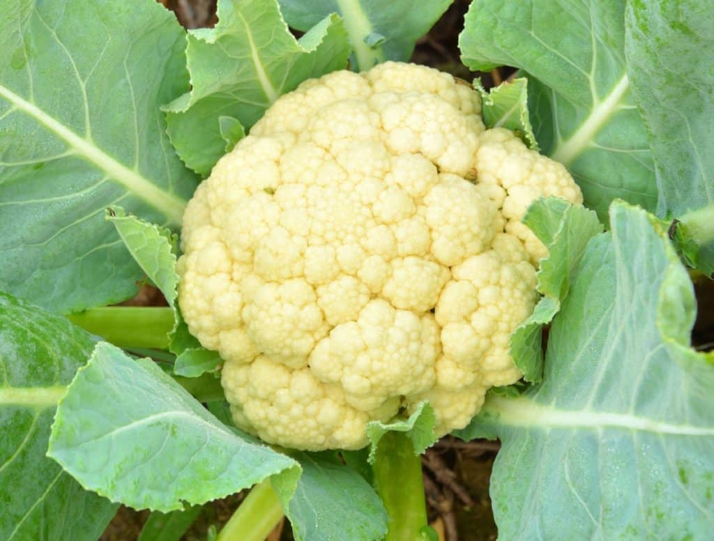 Cauliflower is a cruciferous vegetable.