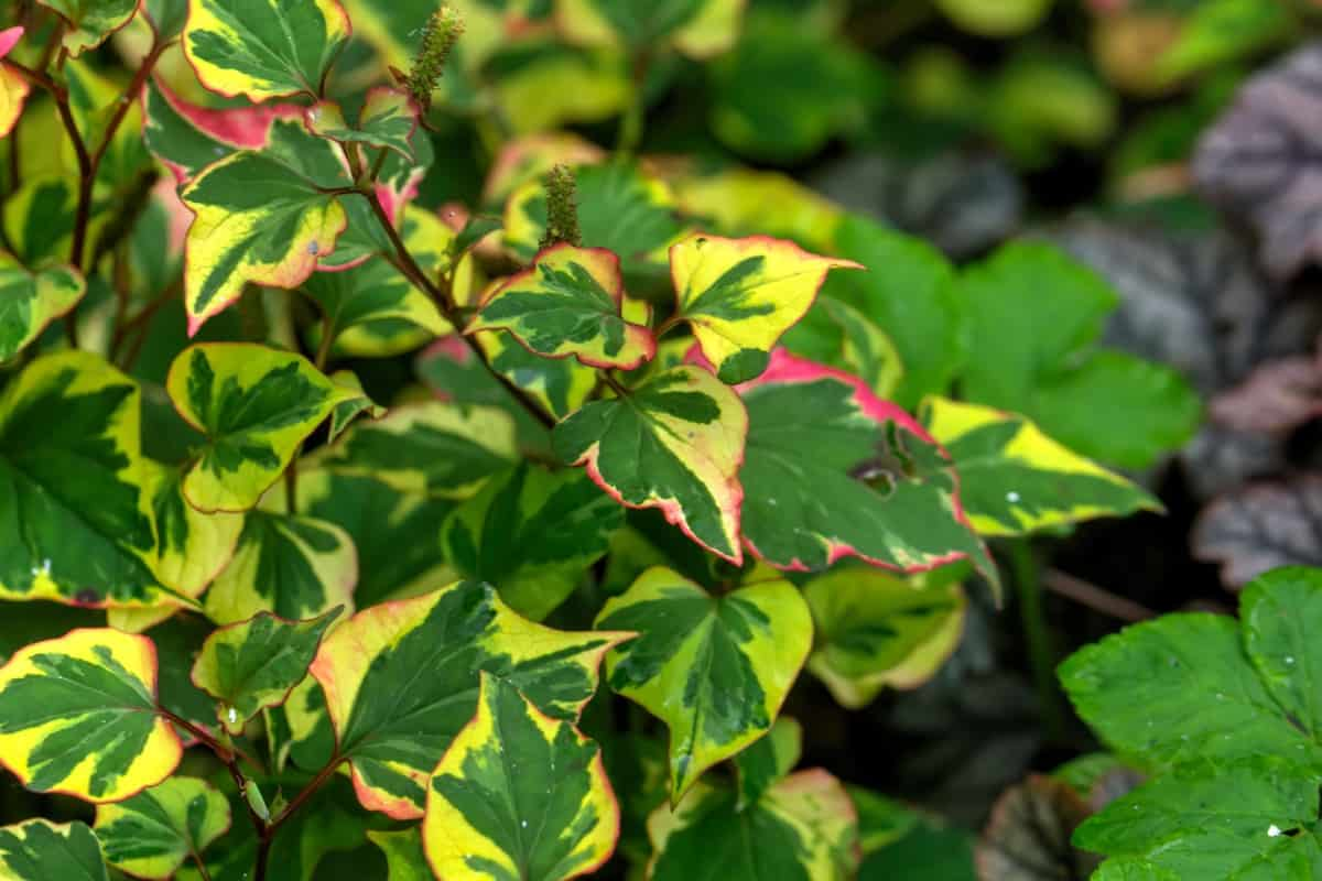 Chameleon plants are an invasive species that smells like diesel fuel.