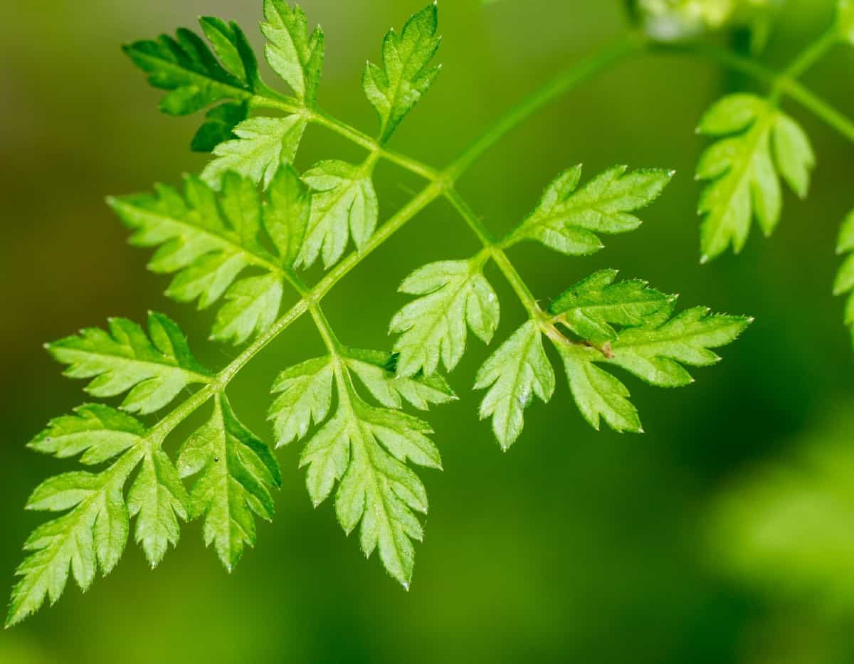 Chervil is also known as French parsley.