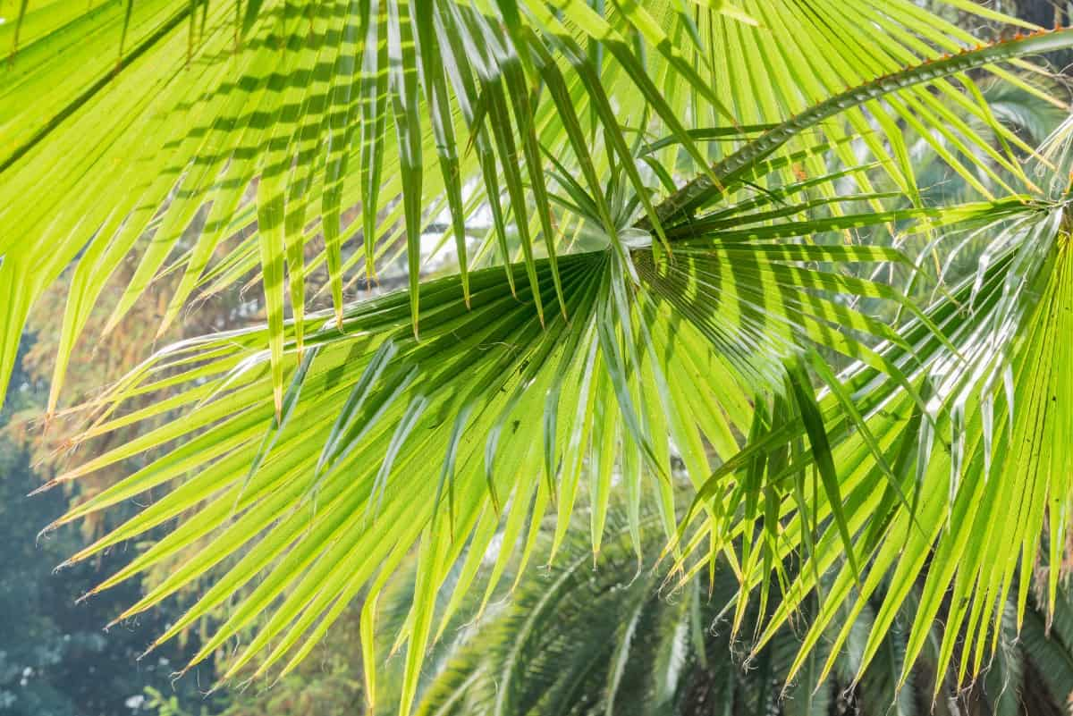 The Chinese fan palm is a slow-grower suitable for in-ground or container planting.