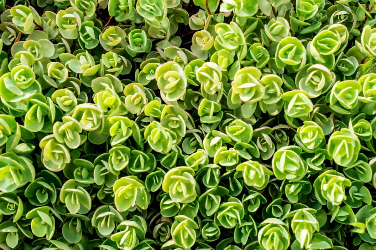 Chinese stonecrop forms a dense mat or carpet when grown close together.