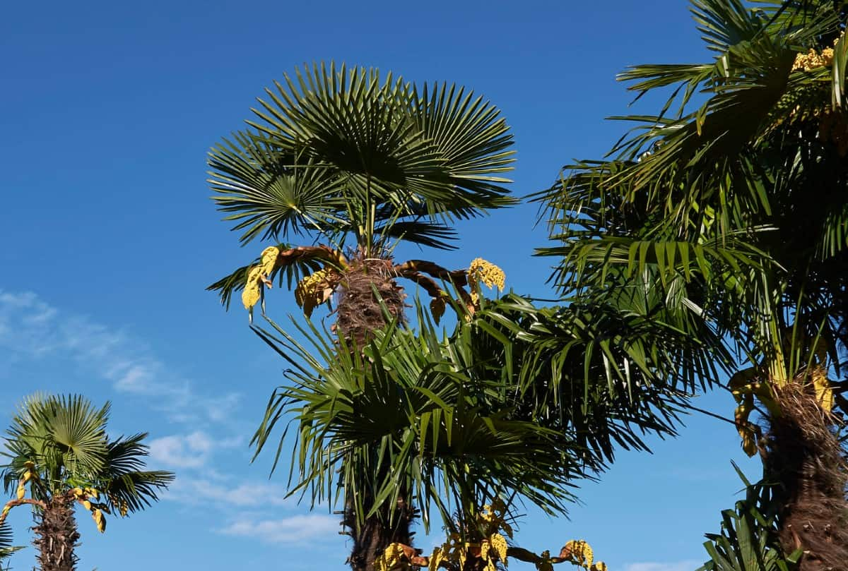 The Chinese windmill palm is an evergreen perennial.