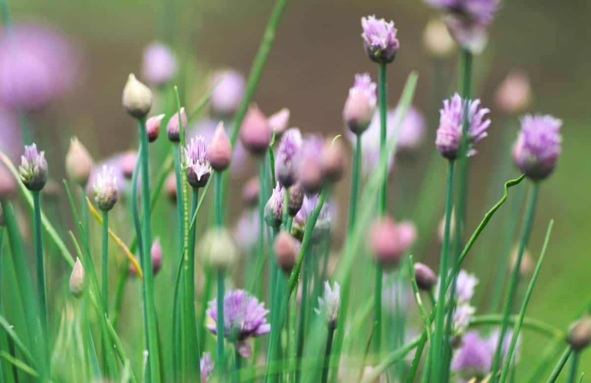 Chives are part of the onion family.