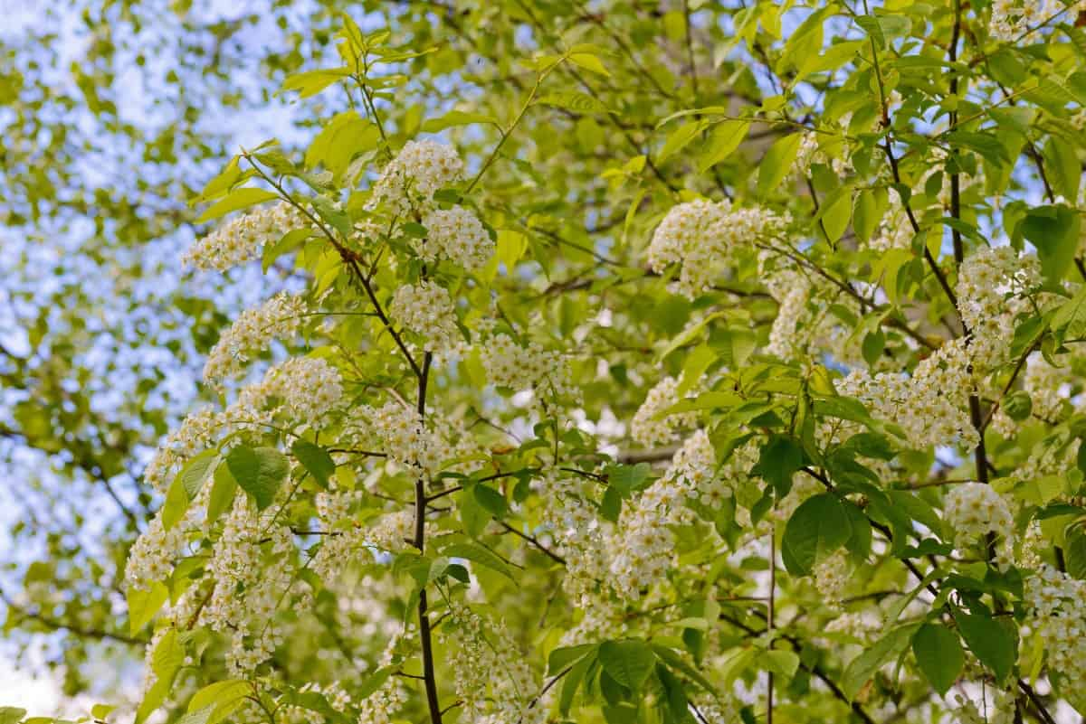 American lady butterflies like the chokecherry tree.