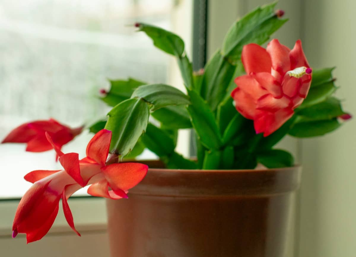 The Christmas cactus cactus has orchid-like flowers in the winter.